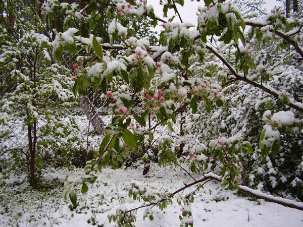 Наиболее опасными для садовых насаждений являются комбинированные заморозки