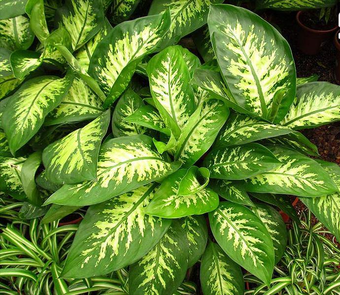 Диффенбахия великолепная (Dieffenbachia magnifica)
