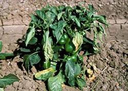 Листья тепличного перца могут не только увядать, но и скручиваться и даже опадать