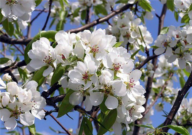 Цветение яблони «Чемпион» довольно обильное, дружное и наблюдается в средние сроки