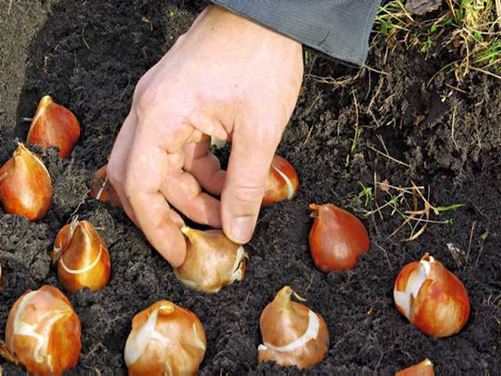 При весенней посадки клубнелуковицы, деленки или детки высаживают в ямки на глубину 3-5 см