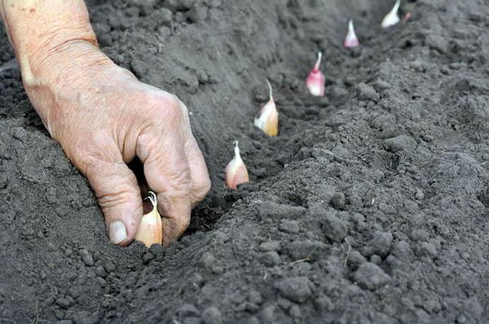 Не вдавливайте зубки в землю, это задержит рост корней