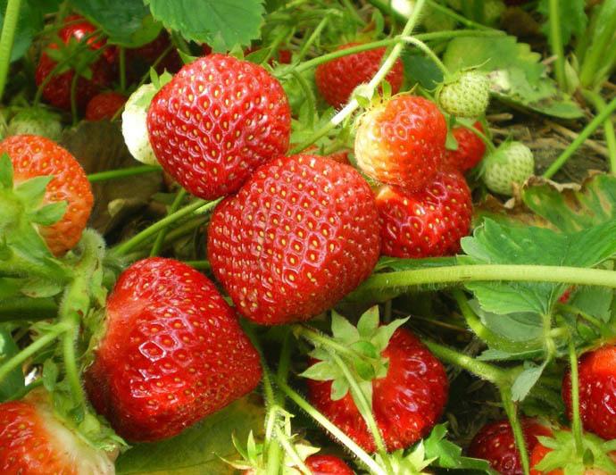 Самое вкусное варенье из клубники готовят из ягод, сорванных с куста в этот же день. При этом клубнику рекомендуется собирать в сухую погоду, поскольку дождь или роса наполняют ягоду влагой. Она становится водянистой и при варке может потерять свою форму