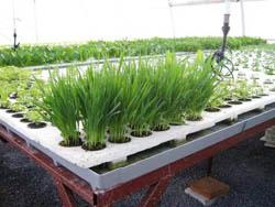 Чеснок – многолетнее травянистое растение