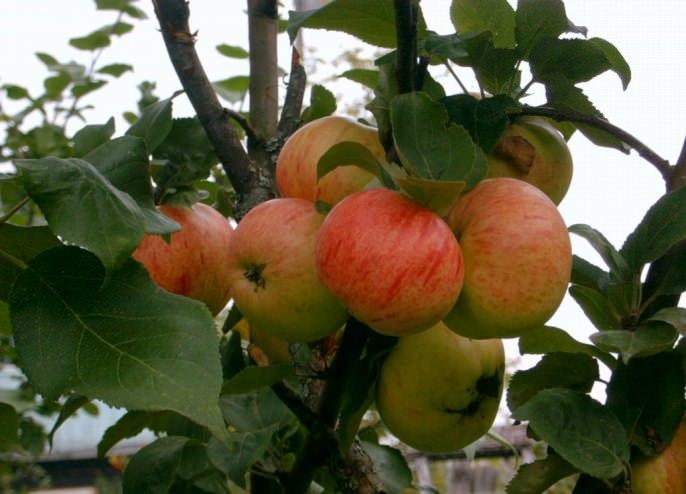 Ветви яблони сорта «Коричное полосатое» достаточно длинные и тонкие