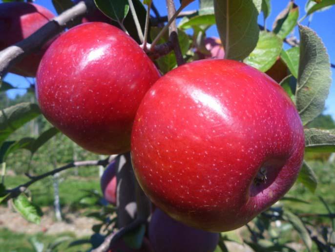 Яблоня «Фуджи» пользуется большой популярностью у садоводов многих стран
