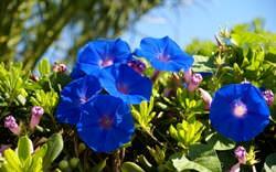 Как грамотно использовать синие цветы на своем участке