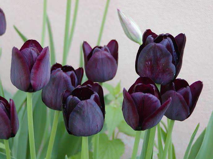Сорт «Куин оф Найт» цветёт в течение трёх недель