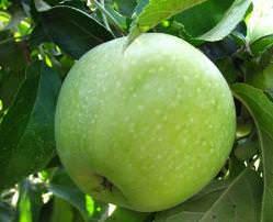 Нет человека, который не слышал бы о сорте яблок «Семеренко»