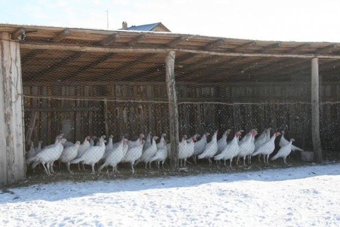Тесный сарай для содержания индюков не подойдет – позаботьтесь о том, чтобы птичник был достаточно просторным для свободных прогулок птицы. Индюкам прогулки просто необходимы из-за высокой склонности к ожирению