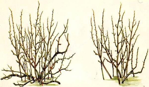 Календарь садовода рекомендует в апреле проведение обрезки чёрной смородины