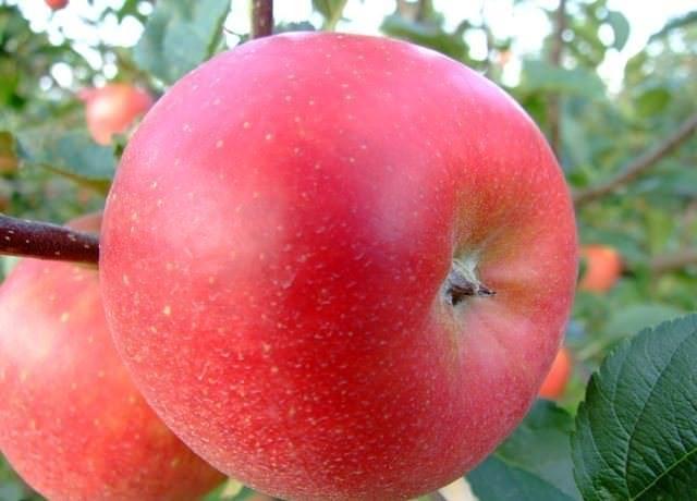 Плоды характеризуются одномерностью и обладают округлой конической очень правильной формой