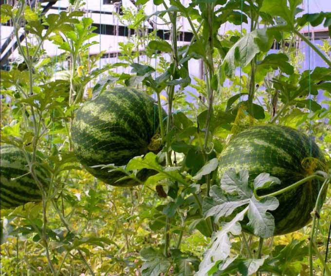 Сформировавшиеся плоды арбуза, находящиеся над почвой, необходимо защитить от обрыва
