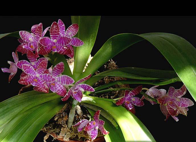 Фаленопсис Люддемана является очень интересным видом, каскад цветения которого длится на протяжении целого года