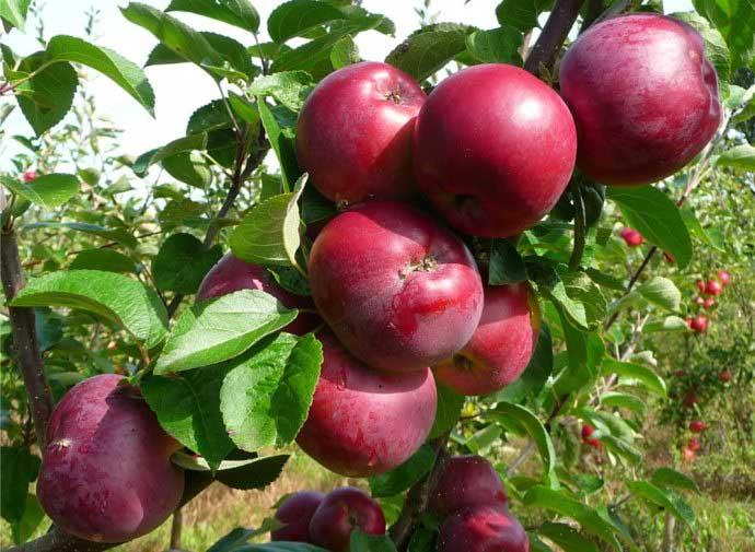 С дерева можно снять в зависимости от его возраста и ухоженности 15-100 кг яблок