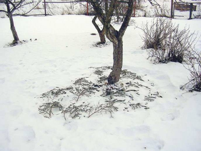 Чтобы посадки не замерзли, они должны находиться под снегом, когда грянут сильные морозы