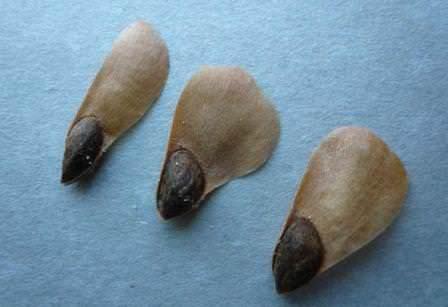 Собираем и правильно подготавливаем семена голубой ели