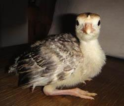 Индейки являются вторыми по величине домашними птицами после страусов