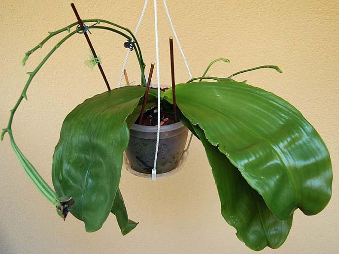 Если у Фаленопсиса листья становятся мягкимиэто указывает на проблемы с корневой системой
