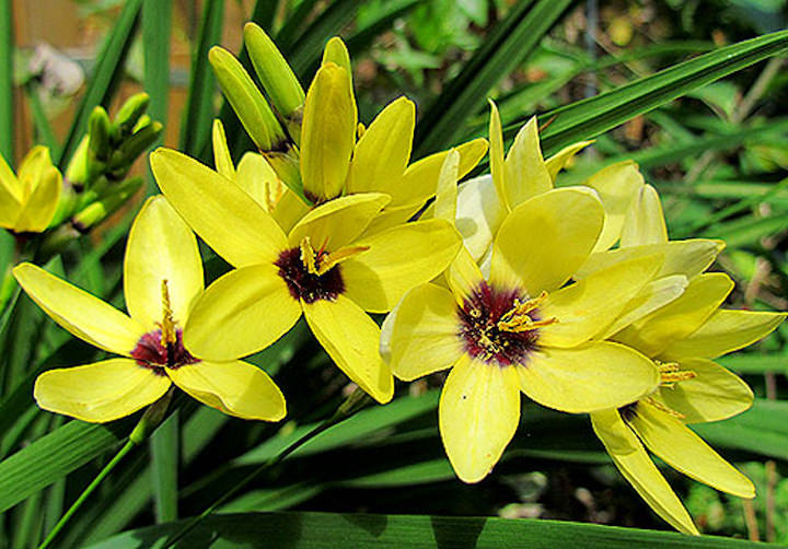 Иксия – очень популярное садовое растение