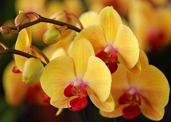 Такая разновидность цветов, как орхидеи, включая вид «Фаленопсис», знаменита своим многообразием цветом
