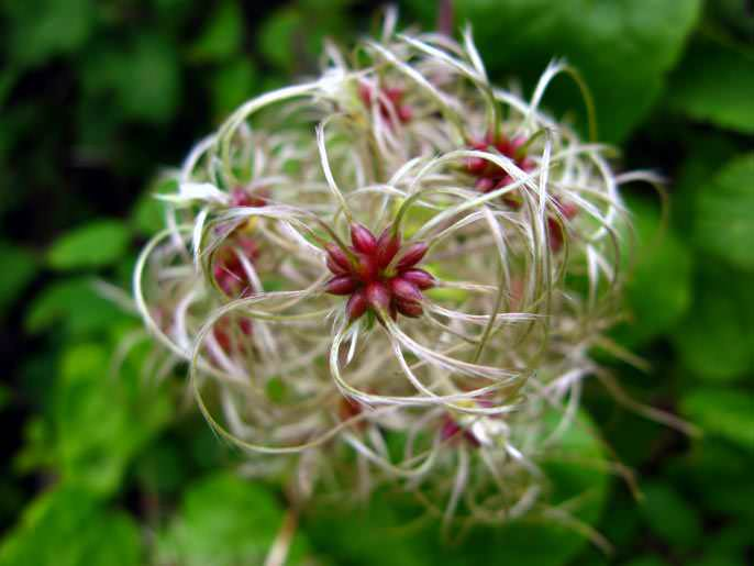 Очень необычно выглядят клематисы после цветения