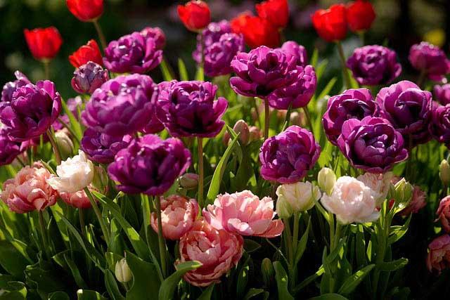 Тюльпаны: от стандартного красного до необычного фиолетового
