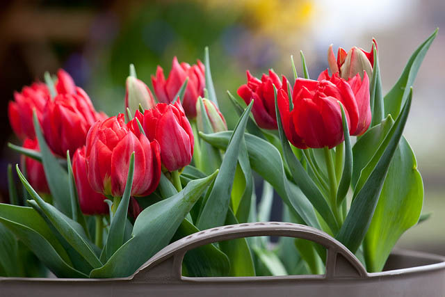 «Тюльпан Абба» обладает насыщенным красным окрасом и заострёнными лепестками