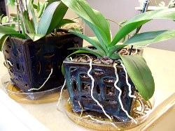 Часто возникает вопрос, как рассадить орхидею правильно