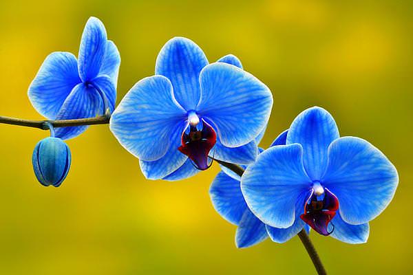 Синие орхидеи вида Фаленопсис не встречаются. Но можно приобрести голубой цветок, отличающийся неприхотливостью в уходе
