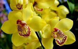 Разводить орхидеи несложно