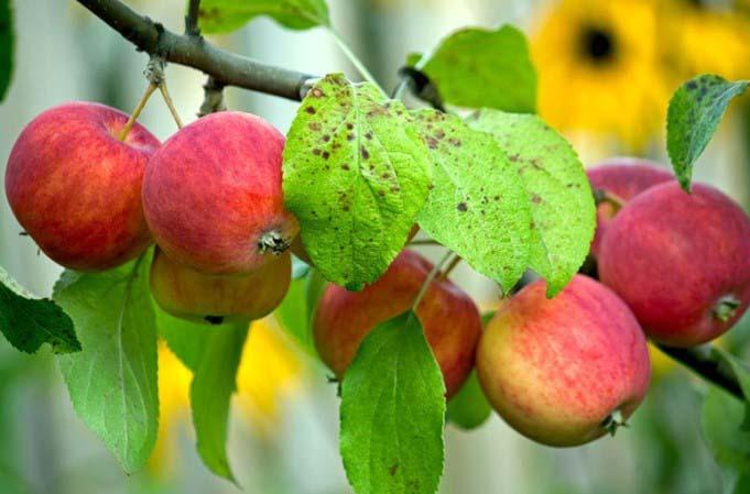 «Ранетка Пурпуровая» – яблоня среднерослая, зимостойкая, рано и довольно обильно, но периодично плодоносящая