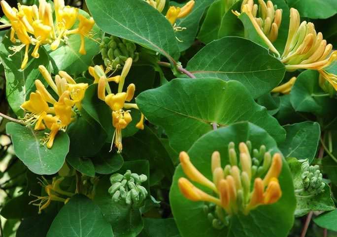 Лечебные свойства обусловлены содержанием в жимолости биофлавоноидов. Преобладают среди кислот яблочная и лимонная