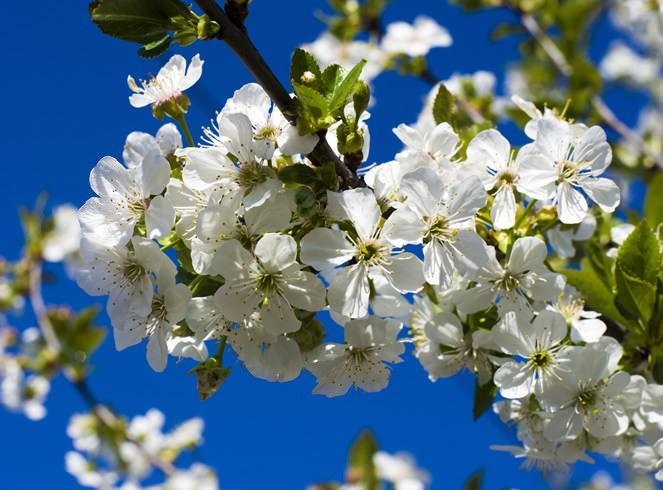 Цветковые почки вишни «Молодежная» хорошо переносят заморозки