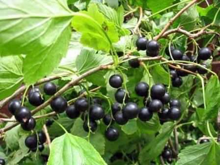 Обратите внимание на поздние сорта черной смородины