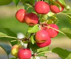 Многие сорта такой яблони, как «Ранетка», растут практически у всех садоводов