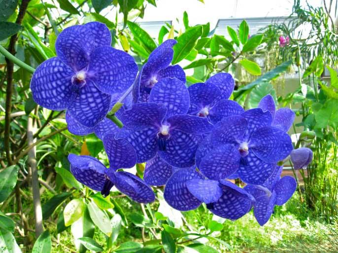 Орхидея будет выглядеть как картинка при обеспечении ей правильного температурного режима