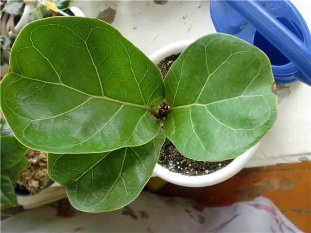 «Скрипичный» (Ficus lyrata Warb.)