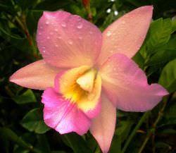 Орхидея Каттлея является идеалом орхидеи