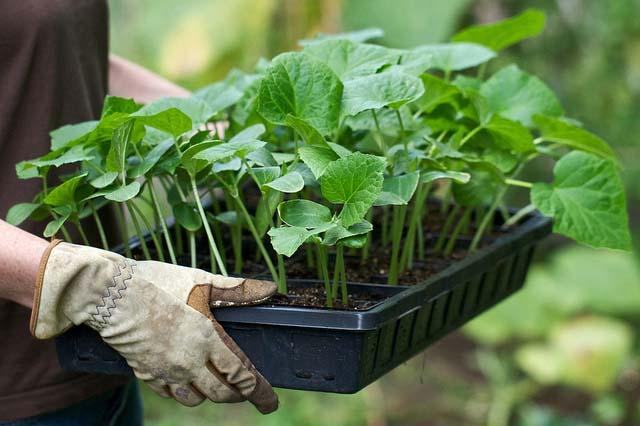 Для получения обильного урожая огурцов важно правильно подготовить грунт и вырастить здоровую рассаду