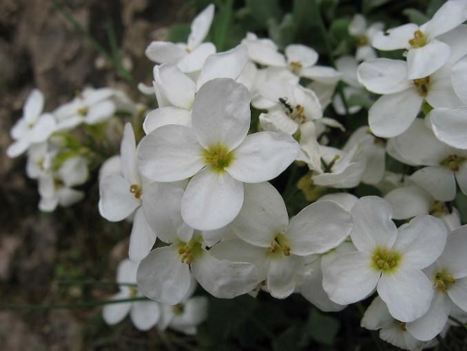 Резуха кавказская (Arabis caucasica) отличается розовой и белой окраской цветков