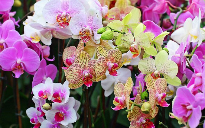 В Китае такое комнатное растение, как орхидея, считается символом богатства семьи