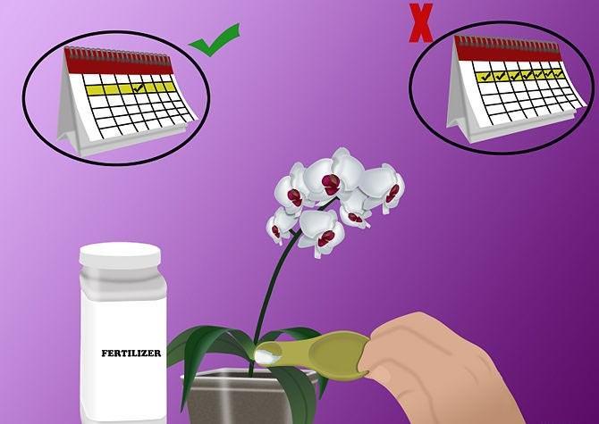 Главным принципом внесения удобрений является знание, как и когда следует осуществлять подкормку комнатной орхидеи