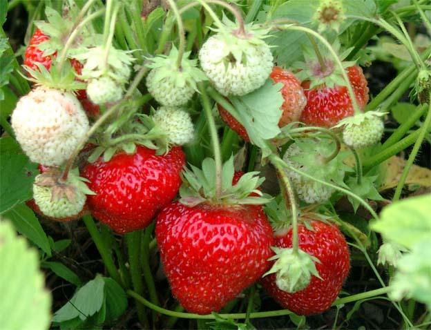 Высокая урожайность, хорошая выживаемость зимой и устойчивость к вредителям, а также болезням сделали американский сорт «Покахонтас» популярным в нашей стране