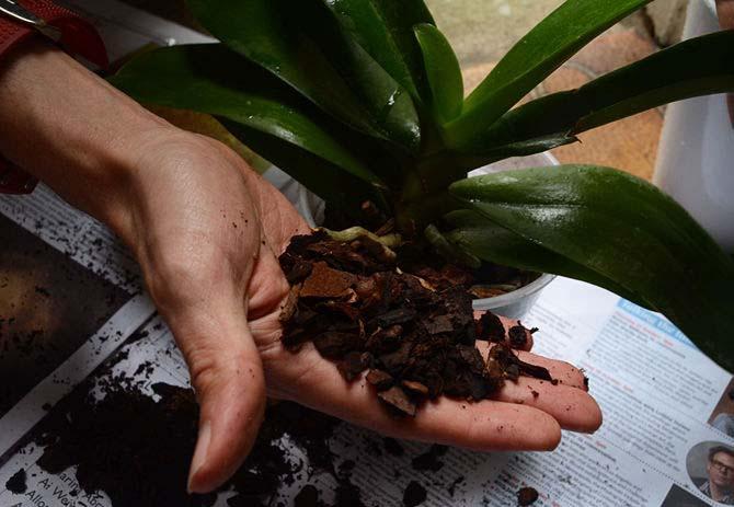 Выполнить приготовление посадочного субстрата для орхидей достаточно просто