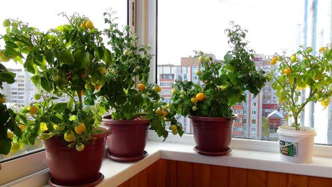 Для балконного выращивания томатов можно использовать как низкорослые сорта так и гибриды