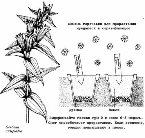 Горечавка желтая размножается исключительно семенами