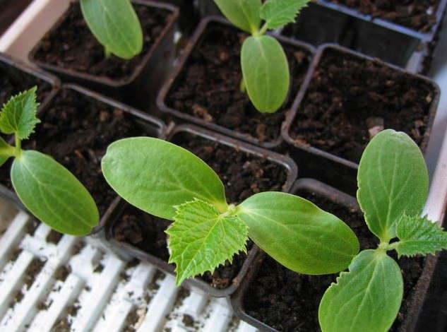 Гибрид «Артист f1» допускается выращивать как овощную культуру, культивируемую рассадным способом