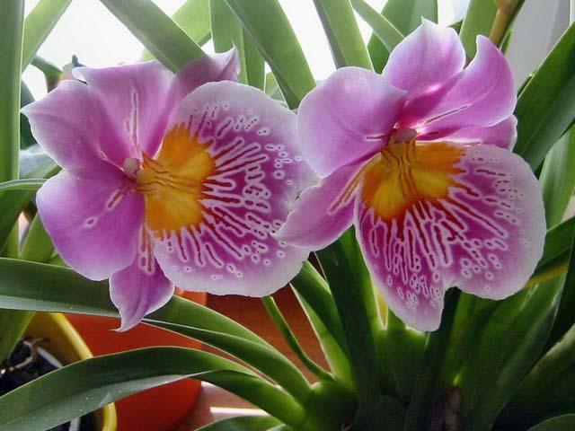 Орхидея вида «Мильтония» известна большинству цветоводов-любителей под названием «Крылья бабочки»