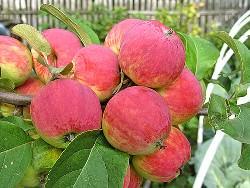 Для получения хорошего урожая яблок, нужно соблюдать правила агротехники